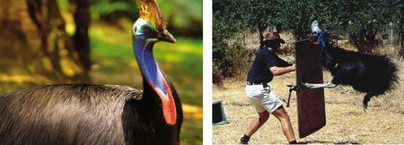 Casuar - a ave mais perigosa do mundo