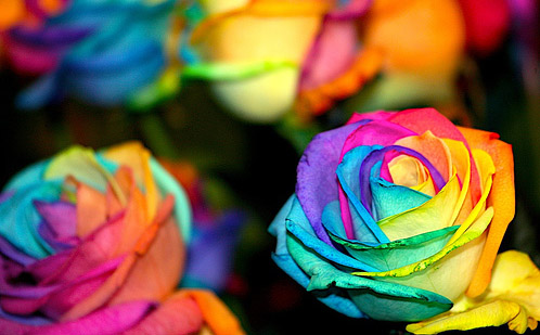 rainbowroses Rainbow Roses   rosas com as cores do arco íris!