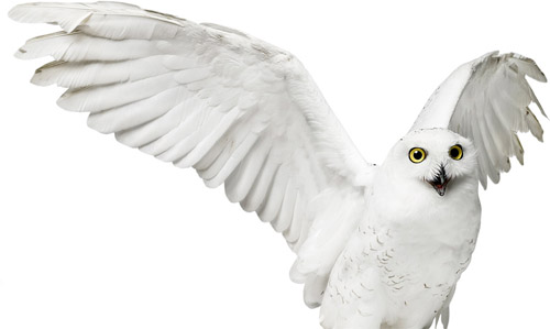 Snowy Owl by Andrew Zuckerman ©